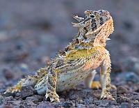 Нажмите на изображение для увеличения Название: desert-horned-lizard-wallpaper-2.jpg Просмотров: 5 Размер:436,7 Кб ID:122924